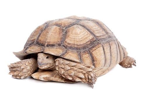 Tortoise retreats into its shell